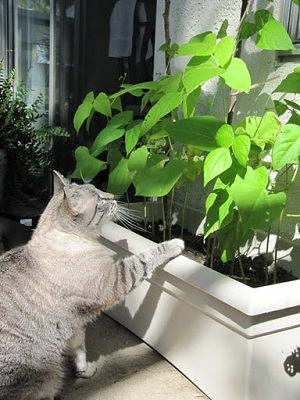 Cat and bean plant