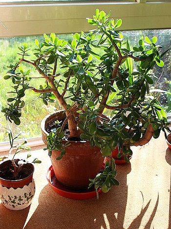 Crassula Plant Windowsill