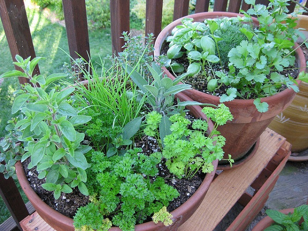 Herb plants oregano parsley chives thyme sage basil