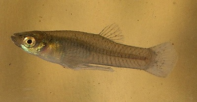 Mosquitofish pond fish