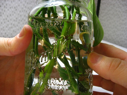 Pothos cuttings jar water