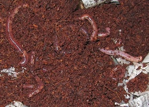 Red worm compost vermiculture