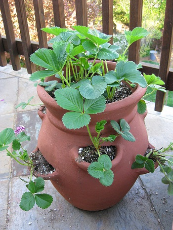 Strawberry planter pot