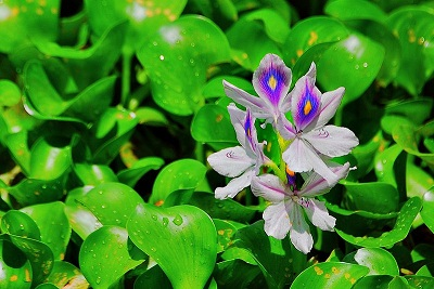 Water hyacinth pond plant