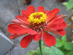 Zinnia flower grown in low light