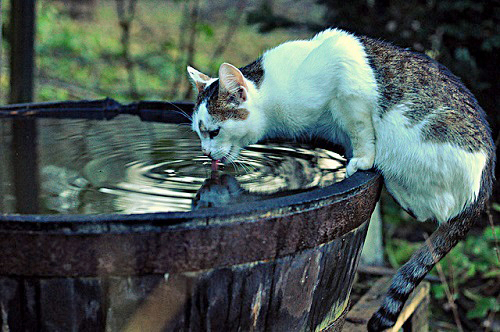 Cat drinking from rain barrel