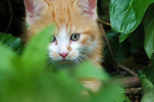 Kitten hiding in leaves