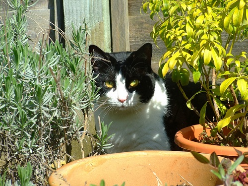 Black and white cat in a container garden