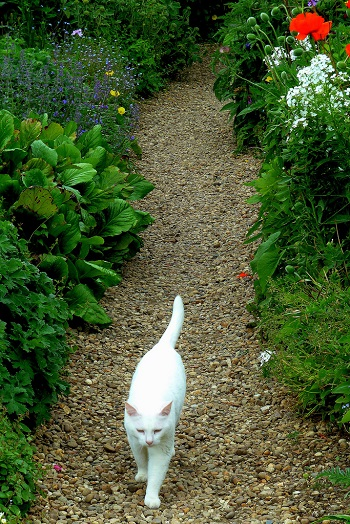 White cat on a garden path