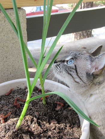 Cat sniffing garlic leaves