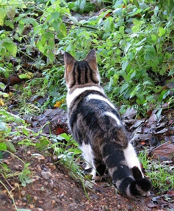 Cat senses something in the garden