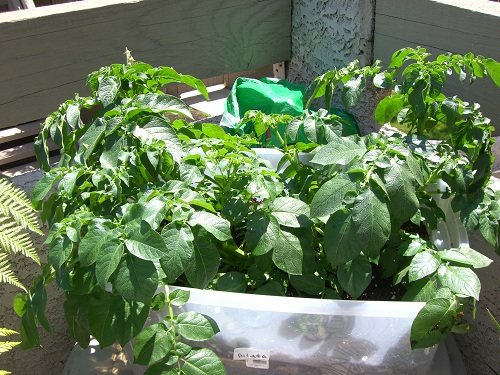 Potato plant plastic storage bin