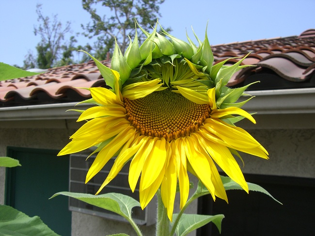 Sunflower in Containers