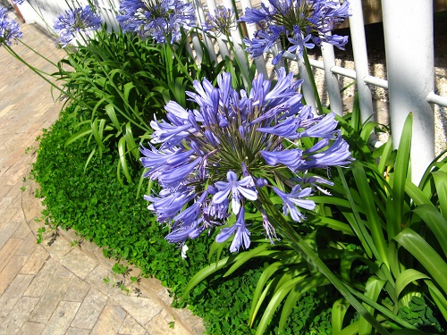 Purple African Lily Flowers