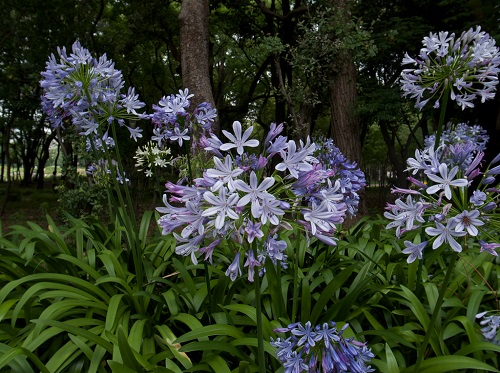 African lily flowers
