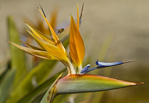 Bird of paradise flower yellow blue