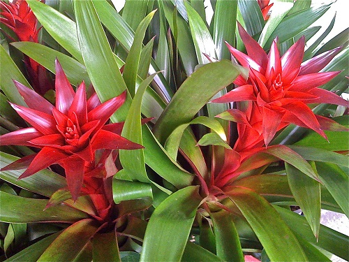 Bromeliad red flower
