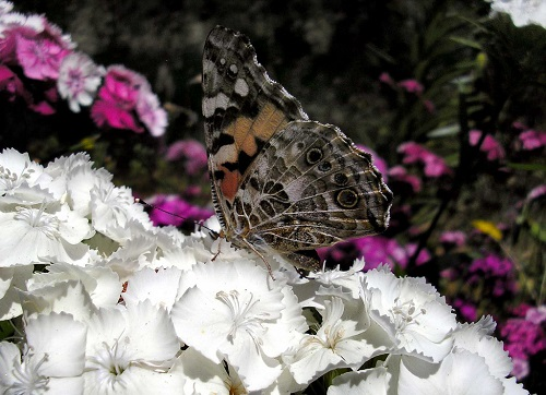 Dianthus and butterfly