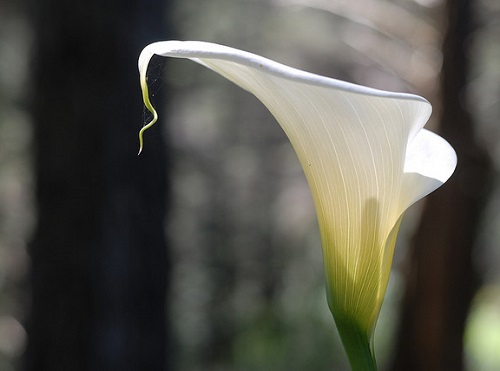 White Calla Lily Flower