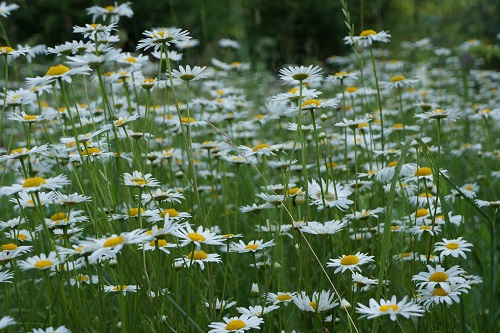 Chamomile flowers in a field