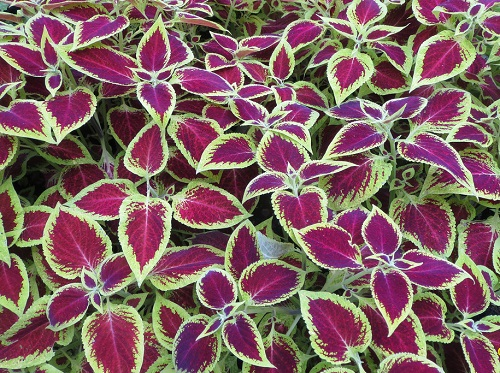 Green and pink coleus