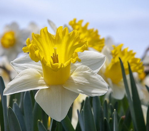 White and Yellow Daffodil Flowers