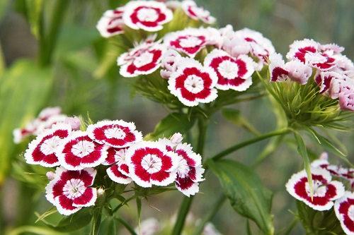 Dianthus barbatus flower