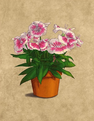 How to grow the Dianthus flower