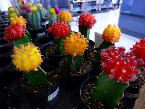 Yellow red grafted cactus