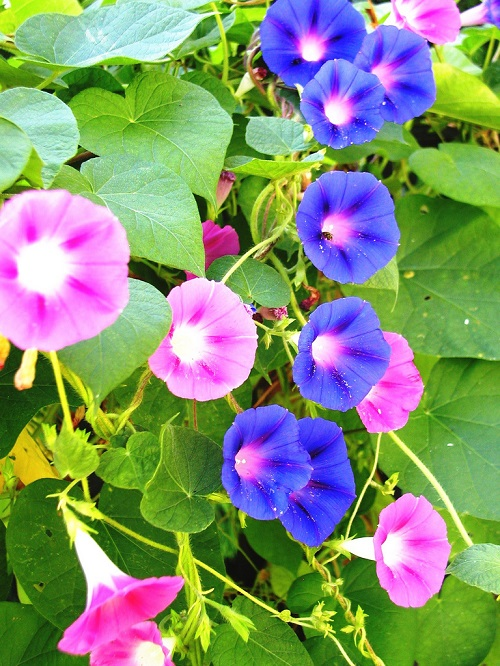 Pink blue morning glories