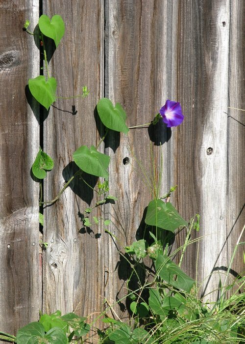 Morning glory fence