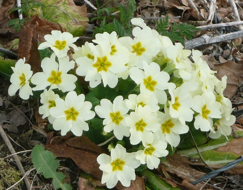 White yellow primroses