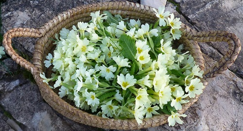 Primroses in a basket