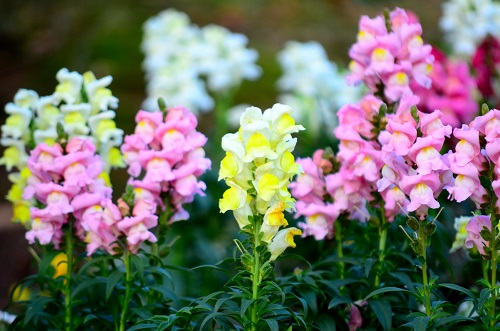 Colorful snapdragon flowers