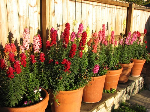 Snapdragon flowers containers