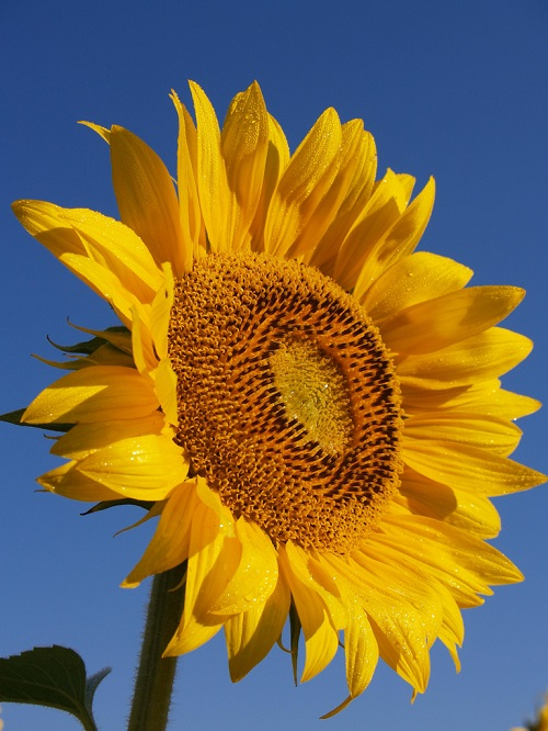 Yellow Sunflower Bloom