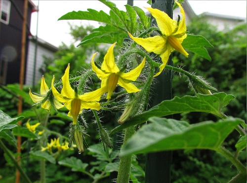 Yellow Tomato Flowers