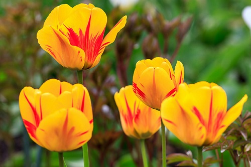 Yellow and Orange Tulip Flowers
