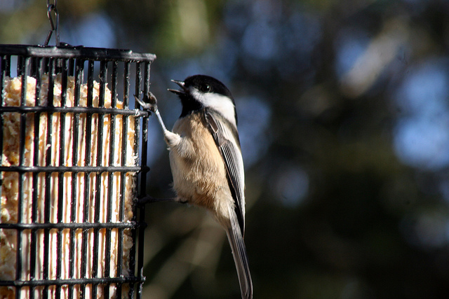 Black-capped chickadee bird