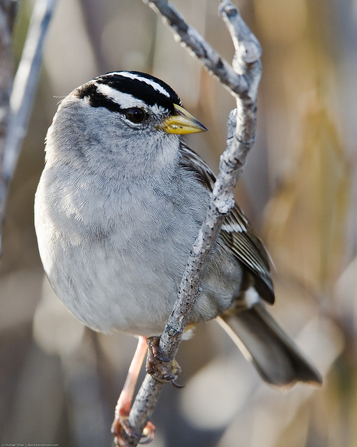 Crowned sparrow wild bird