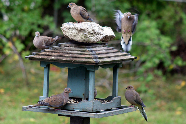Mourning dove birds
