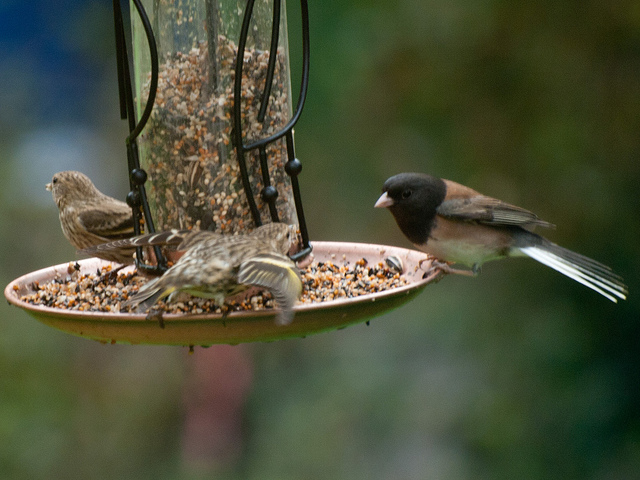 Pine sisken and dark-eyed junco birds