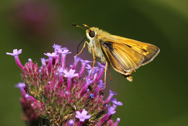 Skipper on phlox plant